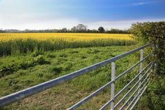 Rapeseed field and farm gate. Beautiful flowering rapeseed in a field with a metal farm gate Royalty Free Stock Photos