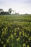 Canola field. Farm house on a canola field Royalty Free Stock Image