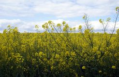 Rapeseed in a field. field of rapeseed Stock Images