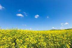 Rapeseed field Royalty Free Stock Photo