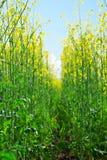 Rapeseed field. Flowering rapeseed field in spring Royalty Free Stock Images