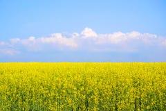 Rapeseed field. Flowering rapeseed field in spring Royalty Free Stock Image