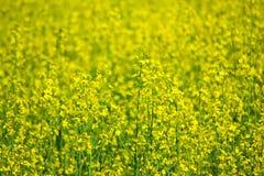 Rapeseed field. Flowering rapeseed field in spring Stock Images