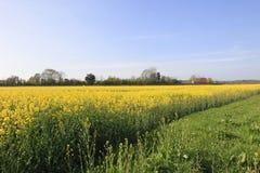 Rapeseed field flowering in spring Royalty Free Stock Photos