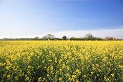Rapeseed field flowering in spring Stock Images