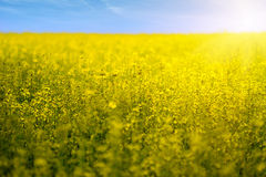 Rapeseed field flowers in bloom Stock Photos