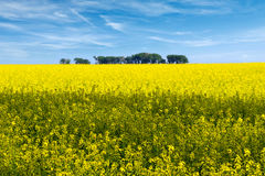 Rapeseed field flowers in bloom Stock Images