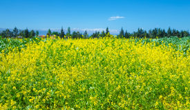Rapeseed field of fresh flowers Royalty Free Stock Image