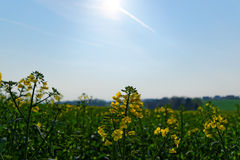 Rapeseed field in front of blue sky Royalty Free Stock Photography