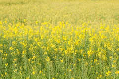 Rapeseed field full of yellow flowers Stock Images