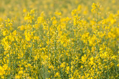 Rapeseed field full of yellow flowers Royalty Free Stock Images