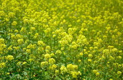 Rapeseed field. In Furano, Hokkaido, Japan Royalty Free Stock Photo