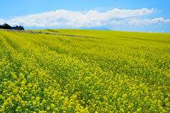 Rapeseed field. In Furano, Hokkaido, Japan Stock Photo