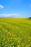 Rapeseed field. In Furano, Hokkaido, Japan Royalty Free Stock Image