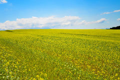 Rapeseed field. In Furano, Hokkaido, Japan Royalty Free Stock Photography