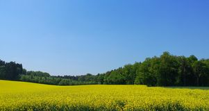 Rapeseed field. A rapeseed field in Germany during the spring royalty free stock image