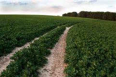 Rapeseed field Stock Image
