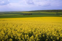 Rapeseed field and green meadows. Panoramic view of rapeseed field and green meadows Royalty Free Stock Image
