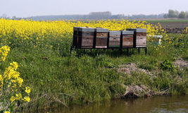 Rape seed field with hives Royalty Free Stock Photos