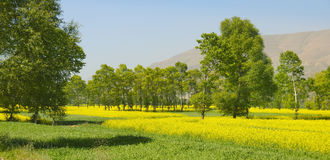 Rapeseed Field In The High Valley Royalty Free Stock Photography