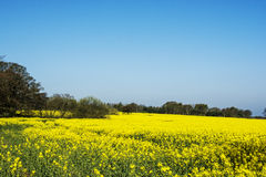Rapeseed field and Landican Wirral Stock Photo
