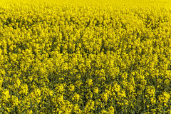 Rapeseed field and Landican Wirral Stock Images