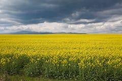 Rapeseed field landscape Stock Photos