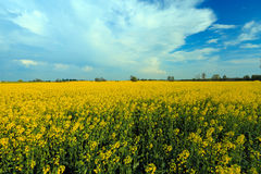 Rapeseed field landscape on cloudly sky Royalty Free Stock Image