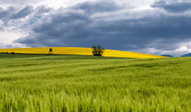 Rapeseed field landscape Royalty Free Stock Photos