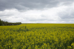 Rapeseed field. Stock Photo