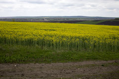 Rapeseed field. Stock Photos