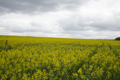 Rapeseed field. Royalty Free Stock Image