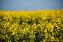 Rapeseed field, landscape with yellow flowers and blue sky. Stock Image