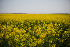 Rapeseed field, landscape with yellow flowers and blue sky. Stock Photography