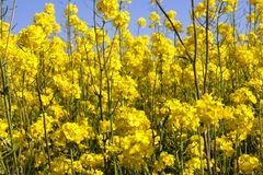 Rapeseed in the field. Large amount of yellow rapeseed in the field, used for obtaining oil and alternative fuels, closeup of spring royalty free stock photos