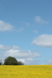 Rapeseed field, Lone Tree. Stock Photography