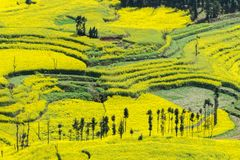 Rapeseed Field Luoping Royalty Free Stock Photography