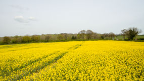 Rapeseed field lush foliage in the UK yellow flowers. Rapeseed field to make oil cloudy sky Royalty Free Stock Photos