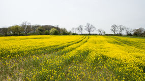 Rapeseed field lush foliage in the UK yellow flowers. Rapeseed field to make oil cloudy sky Stock Photo