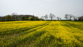 Rapeseed field lush foliage in the UK yellow flowers. Rapeseed field to make oil cloudy sky Royalty Free Stock Image
