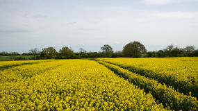 Rapeseed field lush foliage in the UK yellow flowers. Rapeseed field to make oil cloudy sky Stock Photos