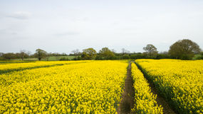 Rapeseed field lush foliage in the UK yellow flowers. Rapeseed field to make oil cloudy sky Royalty Free Stock Images