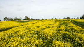 Rapeseed field lush foliage in the UK yellow flowers. Rapeseed field to make oil cloudy sky Stock Image
