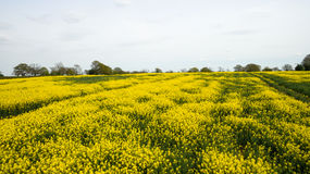 Rapeseed field lush foliage in the UK yellow flowers. Rapeseed field to make oil cloudy sky Royalty Free Stock Photography