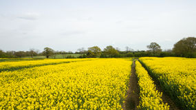 Rapeseed field lush foliage in the UK yellow flowers. Rapeseed field to make oil cloudy sky Stock Images