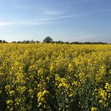 Rapeseed Field Marks Tey, Essex, England Royalty Free Stock Photo