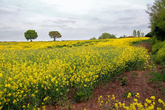Rapeseed field meadow Stock Images