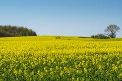 Rapeseed field Stock Photo