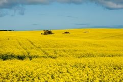 Rapeseed Field in the Mid West stock images