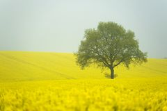 Rapeseed field in morning fog Stock Photos